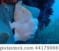 giant frogfish, fish, fishes 44179066