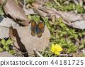 Lycaena phlaeas 44181725