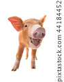 smiling piglet isolated 44184452