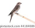 Spotted Flycatcher 44184686