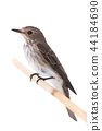 Spotted Flycatcher 44184690