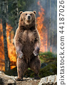 Big brown bear standing stands in burning forest 44187026