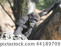 大猩猩 上野動物園 動物 44189709