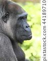 大猩猩 動物 猴子 44189710