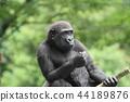大猩猩 動物 孩子 44189876