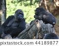 大猩猩 動物 上野動物園 44189877