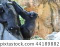 大猩猩 動物 父母和小孩 44189882