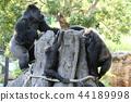 大猩猩 上野動物園 動物 44189998