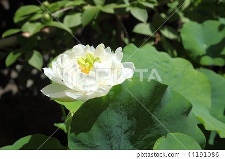Zhongshan Temple lotus 44191086
