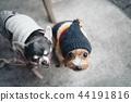 하품을하고있는 강아지와 니트 모자를 쓰고있는 개 44191816