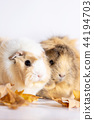 Adorable guinea pigs isolated on white background 44194703