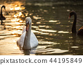 white swan swimming on lake at sunset 44195849