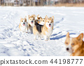 Welsh corgi pembrokes walks outdoor at winter 44198777