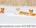 Welsh corgi pembrokes walks outdoor at winter 44198783