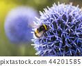 Bumble Bee on Echinops 44201585
