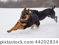 Adorable dogs playing outside in winter snow. 44202834
