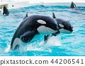 วาฬเพชรฆาต 44206541