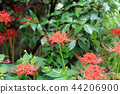 cluster amaryllis, red spider lily, bloom 44206900