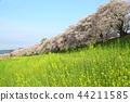 요도가와 하천 등 割堤 지역의 벚꽃 44211585