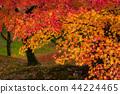 秋叶在京都,日本 44224465