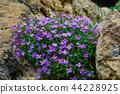 endemic purple rock ivy flowers 44228925