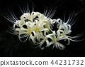cluster, amaryllis, white 44231732