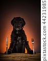 Hungry black mutt dog with fork and knife ready to eat dinner or lunch. 44231985
