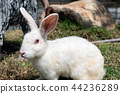 White rabbit with red eyes a friendly on grass 44236289