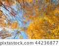 푸른 하늘 배경으로 바라 보는 단풍 나무의 단풍 44236877