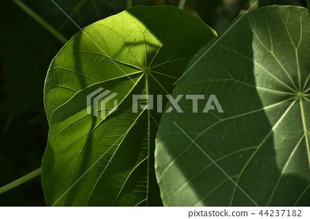 一種植物 44237182
