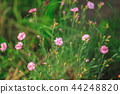 small pink flowers in the meadow 44248820