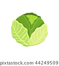 Cabbage Healthy Vegetable, Vector Illustration 44249509