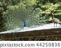 大牟田市動物園孔雀, 44250836