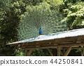 大牟田市動物園孔雀, 44250841