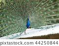 大牟田市動物園孔雀, 44250844