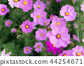 flowers cosmos in the field blooming on the day  44254671