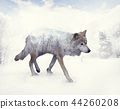 Double exposure of wolf in the winter 44260208