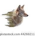 Double exposure of coyote portrait and pine forest 44260211