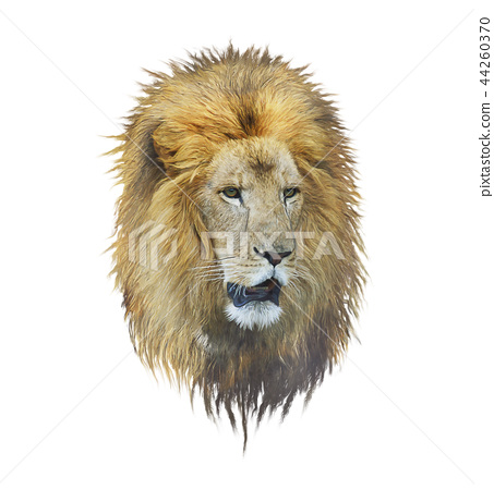 Lion head watercolor 44260370