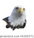 Portrait of Bald eagle 44260371