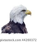 Portrait of Bald eagle watercolor 44260372