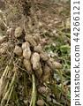 수확 어린애 땅콩 44266121