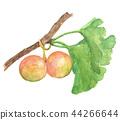 은행나무, 열매, 과실 44266644