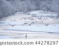 Tancho(北海道·Tsurui)從被冰包圍的棲息處飛行 44278297