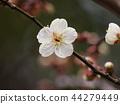 매화, 매화꽃, 꽃잎 44279449
