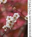 매화, 매화꽃, 꽃잎 44279451