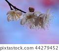 매화, 매화꽃, 꽃잎 44279452