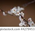 매화, 매화꽃, 꽃잎 44279453