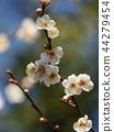 매화, 매화꽃, 꽃잎 44279454