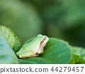 青蛙 樹蛙 日本樹蛙 44279457